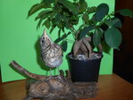 Turdus pilaris (дрозд-рябинник)