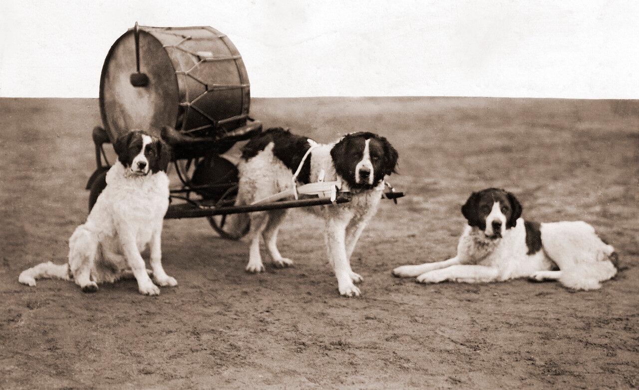 Барабанные собаки пехотного полка герцога Карла.