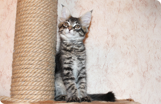 Мейн-кун котенок черный пятнистый