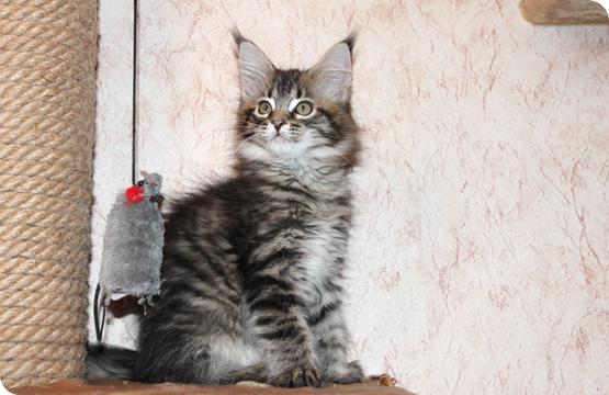 Мейн-кун котенок продажа в Москве из питомника