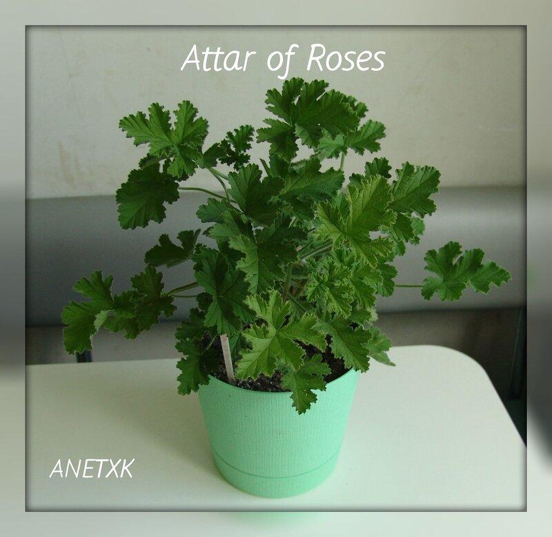 attar of roses пеларгония фото
