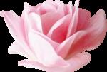 NLD Big Rose b.png