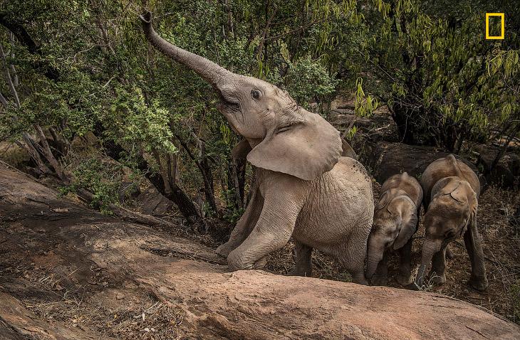 Хорошая грязевая ванна помогает защитить чувствительную кожу слонов, действуя как солнцезащитный кре
