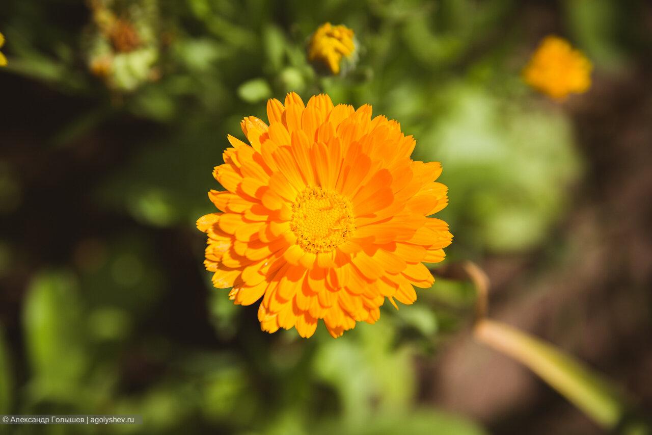 июльский цветок