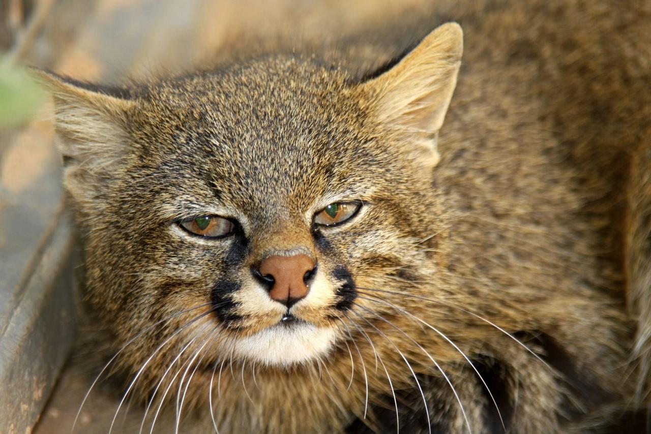 Пампасский кот фото