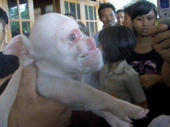 Как свиньи трахаются фото 734-387