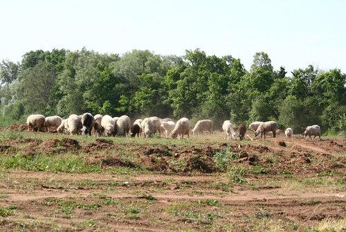 овцы у первомайского