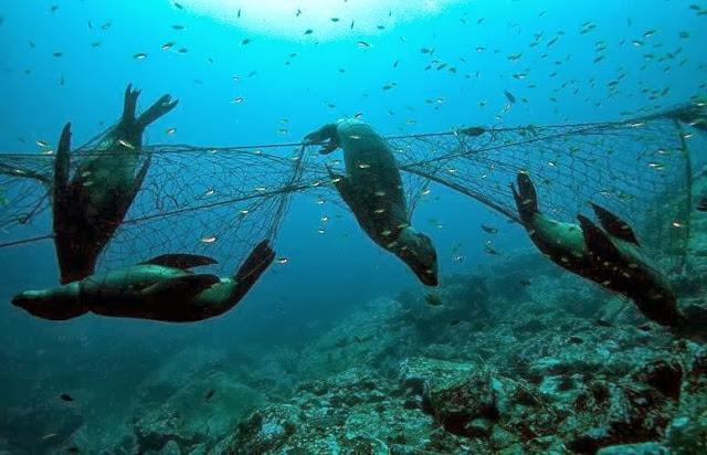 seals-ghost-nets.jpg