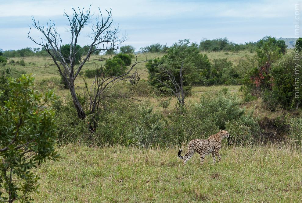 15. Гепард — самое быстрое животное на земле, разгоняется до 120 км/ч за три секунды. Однако гепард