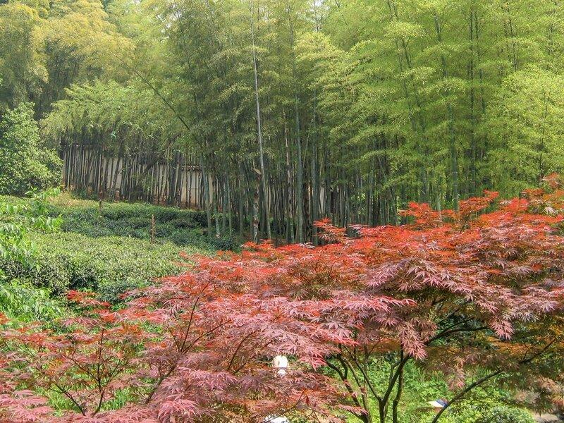 Бамбуки и японские клены