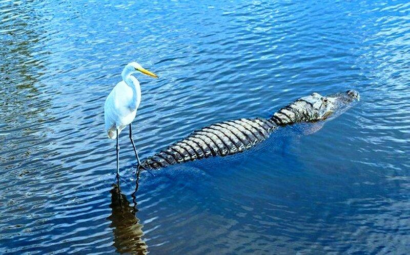 Мы видим аллигатора, а птица — речной трамвайчик..jpg