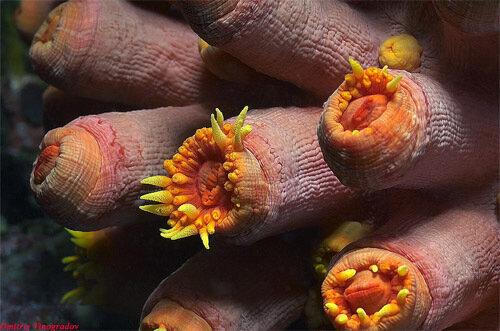 соски под микроскопом фото