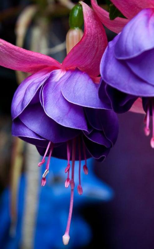 Цветник синий - цветник надежды-аквилегия