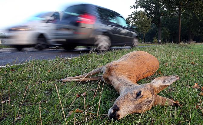 Мертвый олень лежит возле дороги, Германия.