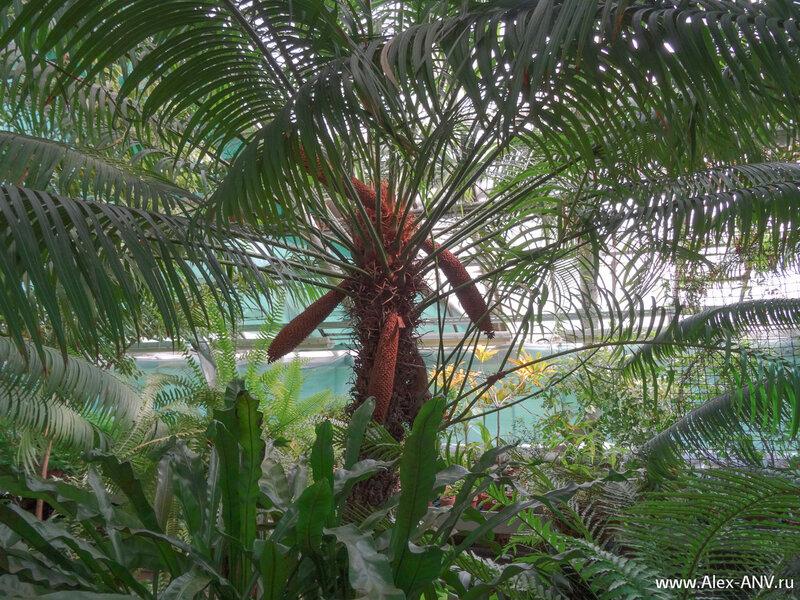 А это и не пальма, и не папоротник. Это представитель вида Саговниковых - древнейших голосеменных растений.