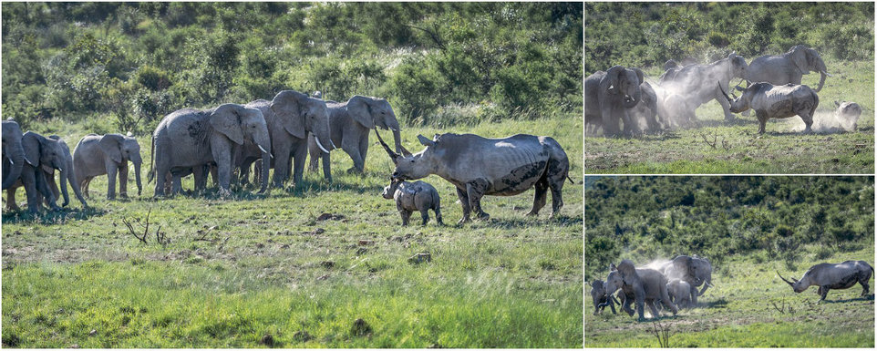A rhino female broke up a herd of elephants that came too close to her baby.