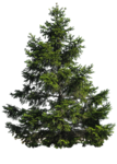 pine_tree_png_by_paradise234-d5fvhyc.png