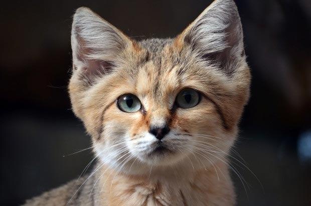 животные кошки пустыни пустыня порода котята новости породы