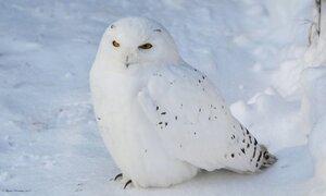 Полярная сова на снегу