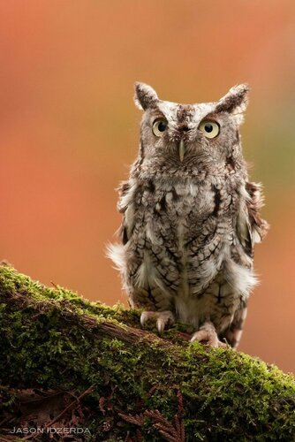 owls11.jpg