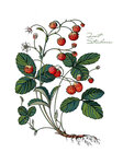 Forest strawberry. Wild Strawberries. The bush of wild strawberry