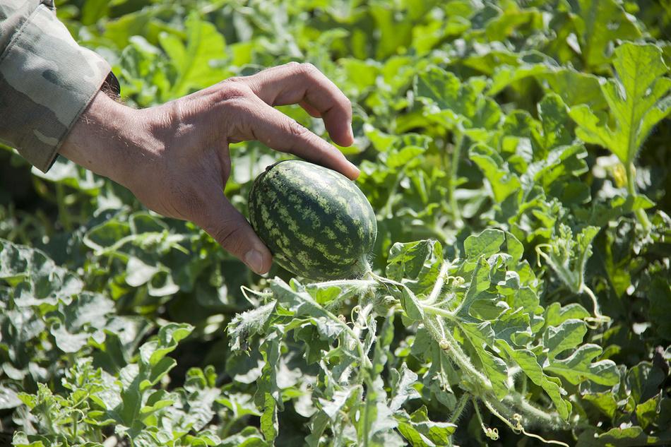 Как выращивают арбузы в Дагестане (9 фото)