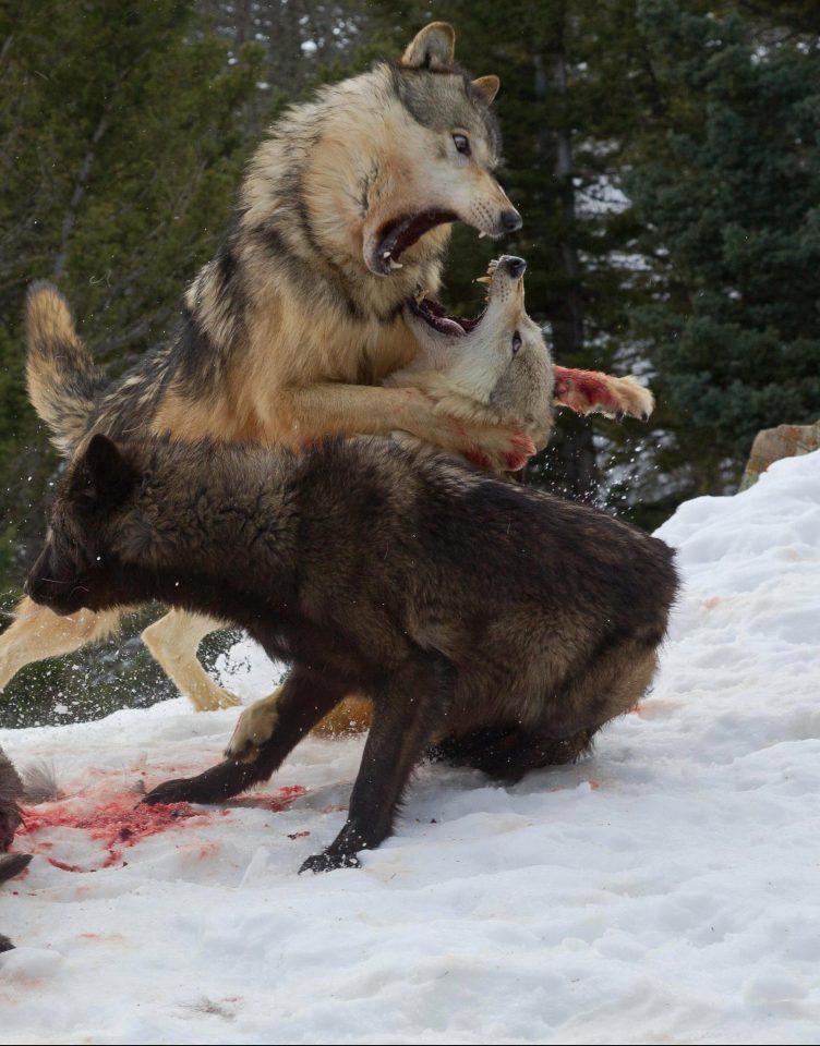 животные Лучшие снимки 2017 Скалистые горы волк волки фотоаппарат фотоаппараты мысли