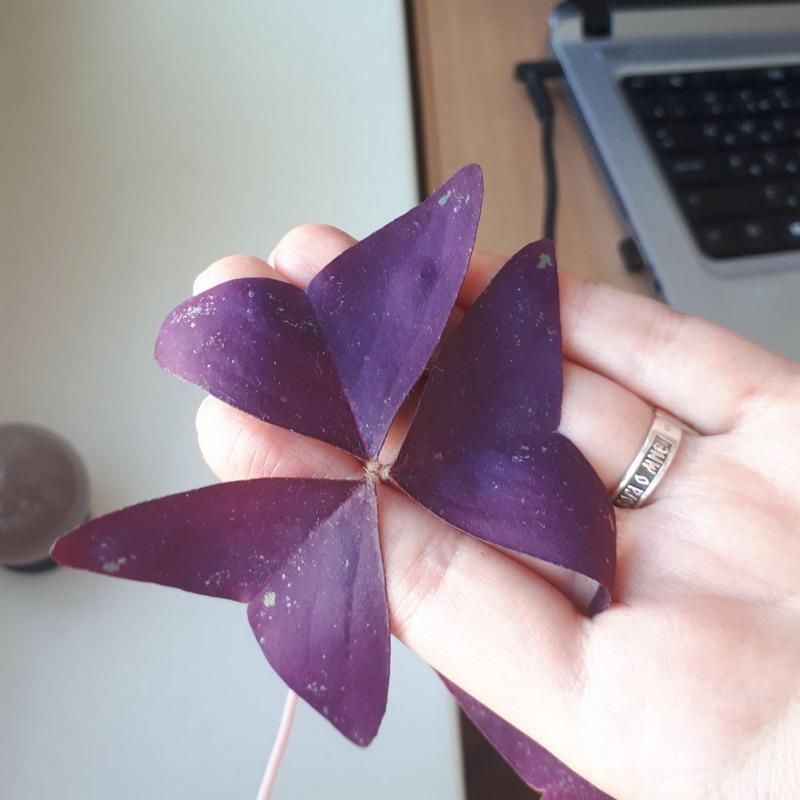 оксалис пятна на листьях.jpg