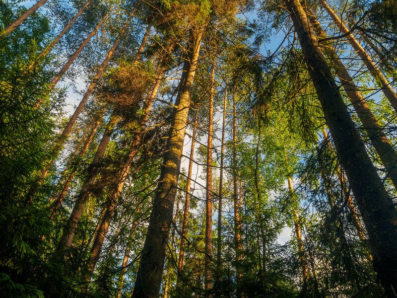 Вечерний лес за Кондопогой.