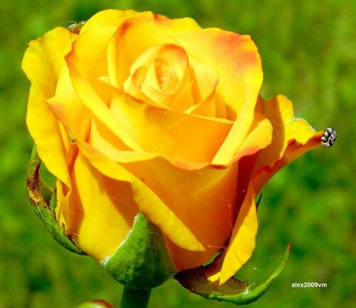 И только роза между ними...
