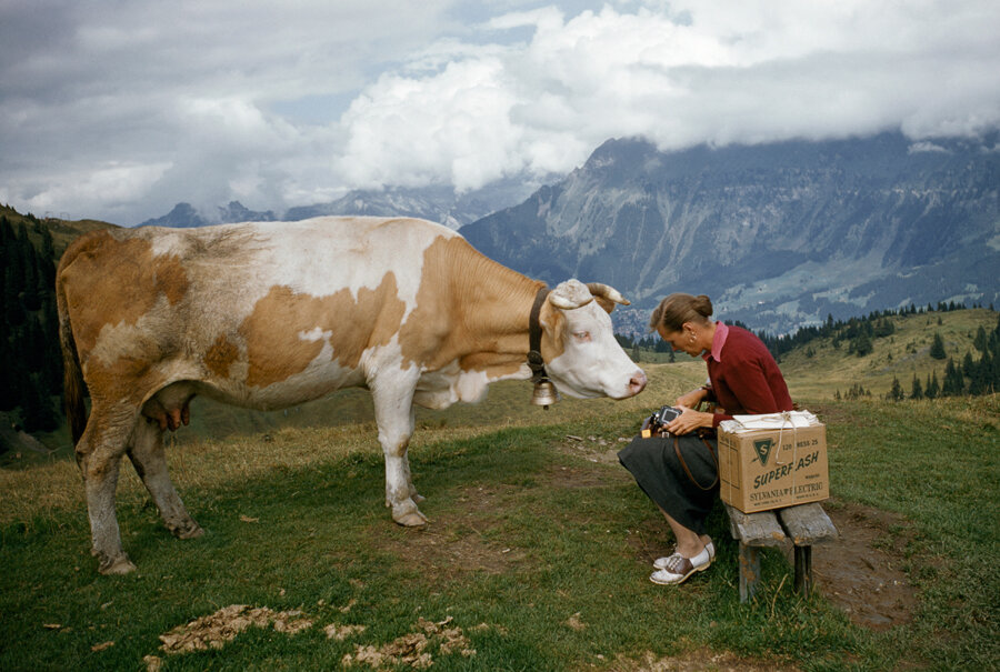 A curious cow on a hilltop tries to nibble a womans camera in Switzerland, November 1956.Photograph by Franc Jean Shore, National Geographic.