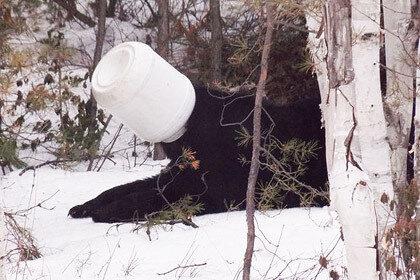 В Канаде помогли медведю с банкой на голове