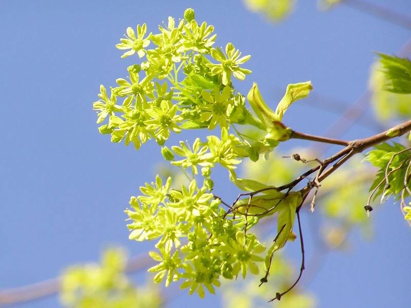 Весна в Москве: цветут деревья