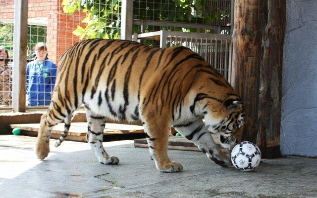 Тигр играет в футбол (21.05.2013)