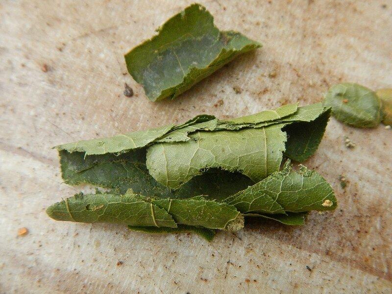 Кладка яиц неизвестного насекомого DSCN4695.JPG