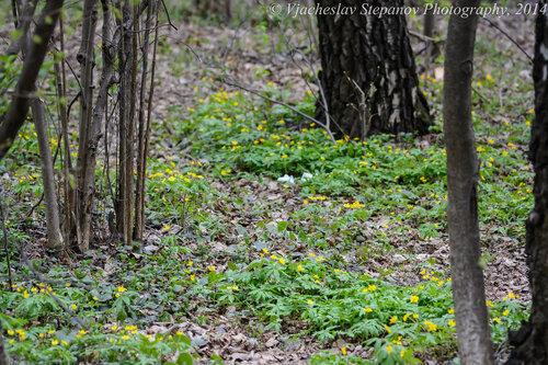 Ветреничка лютиковая (Anemonoides ranunculoides) Автор фото: Вячеслав Степанов
