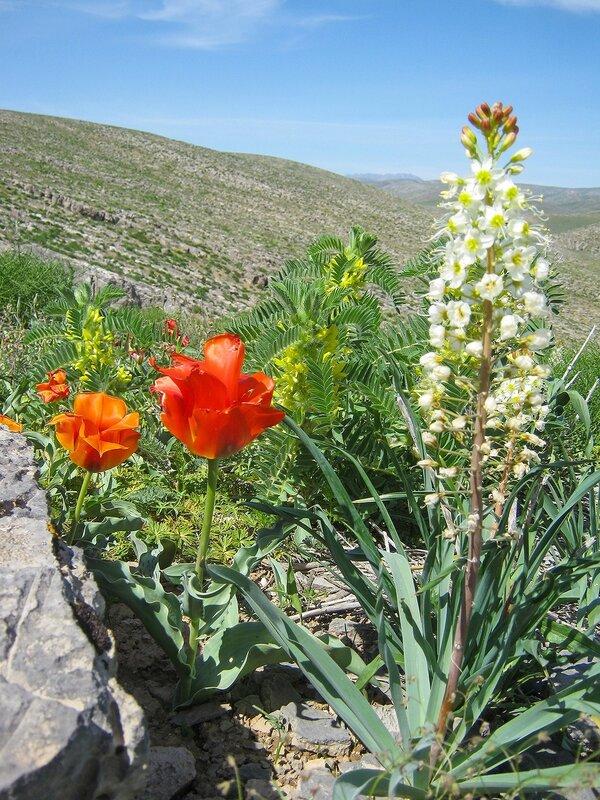 Тюльпан Альберта + Эремурус млечноцветковый + Астрагал
