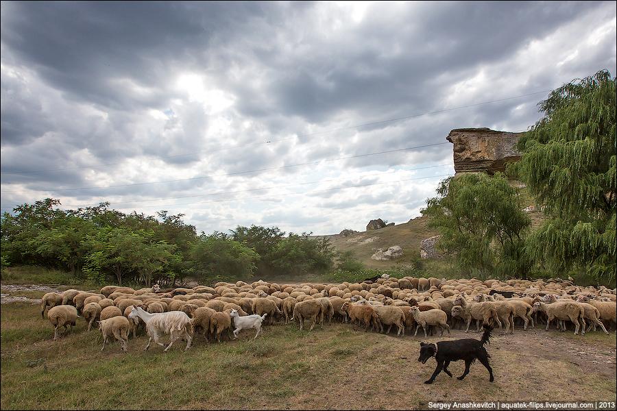 Овцы идут на север