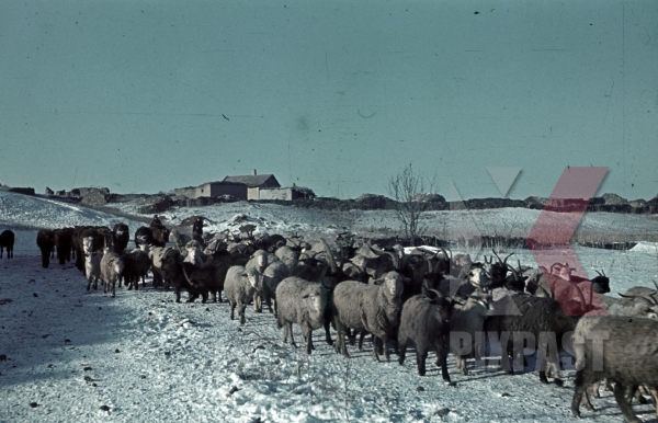 stock-photo-german-infantry-herd-captured-russian-cows-and-sheep-winter-snow-field-don-tschir-1943-22nd-panzer-division-11983.jpg