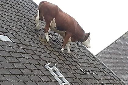 Швейцарскую корову обнаружили на крыше дома