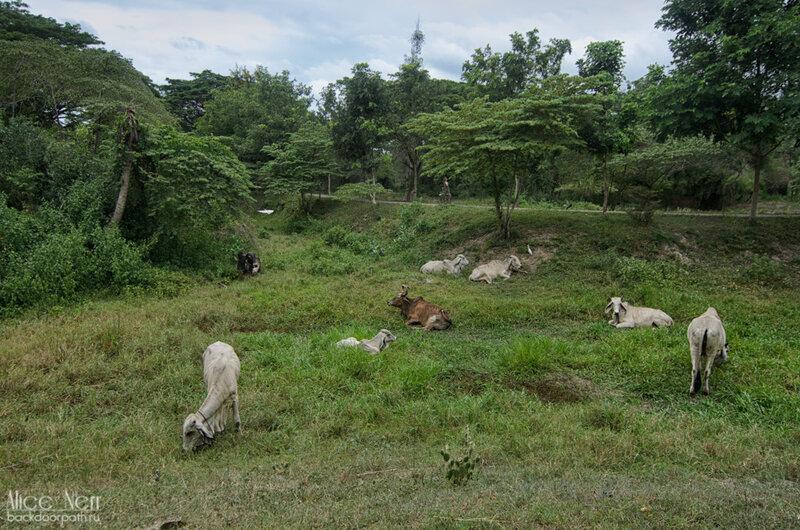 коровы в Cha-Am Forest Park