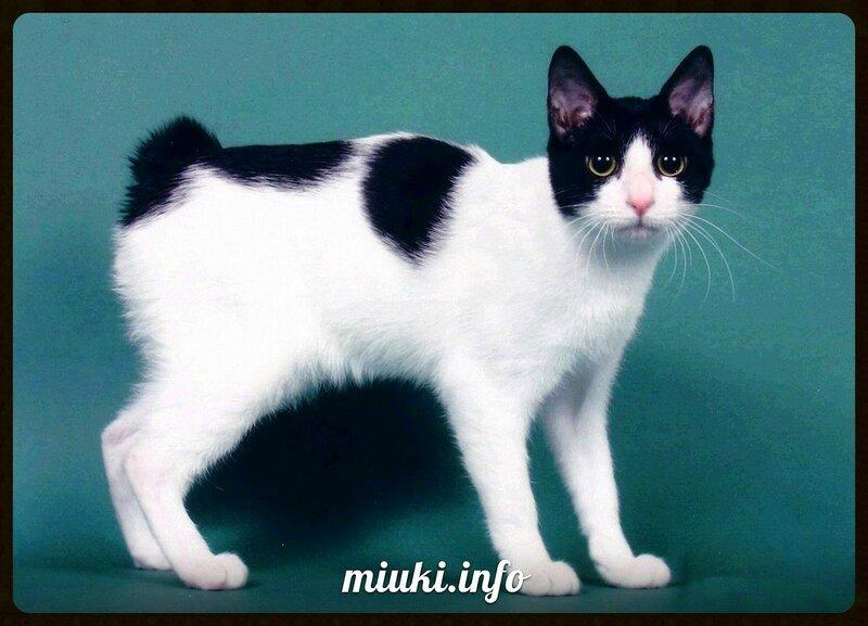 Японский бобтейл, Japanese Bobtail (порода кошек)