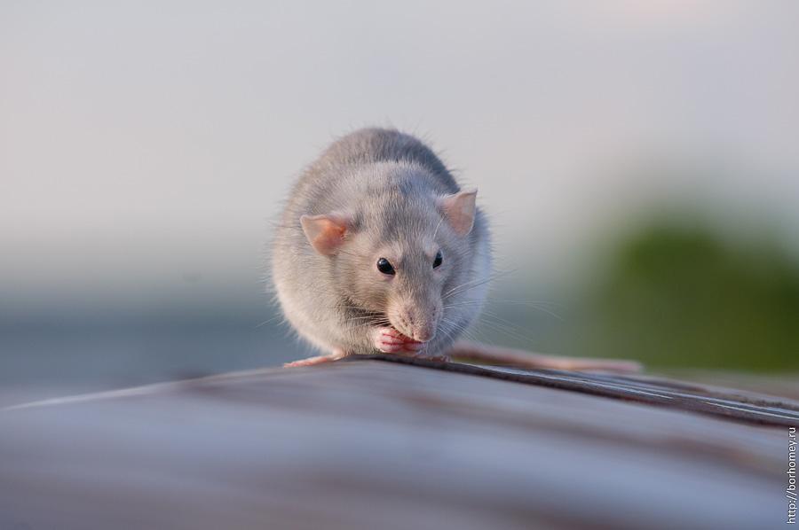 фото крыса дамбо умывается