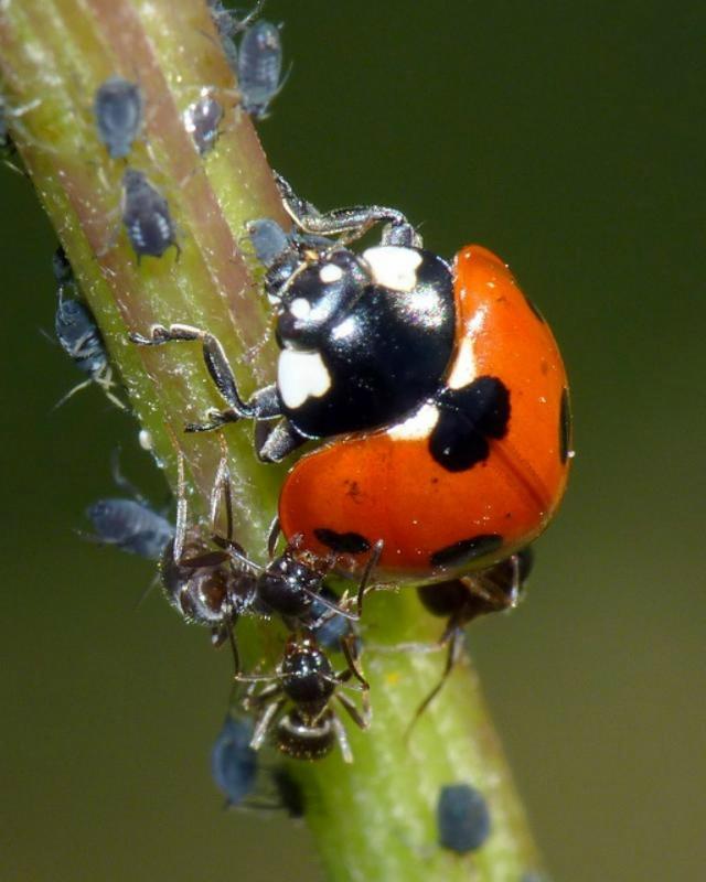 Избавляемся от тли и муравьев без химии-Божьи коровки
