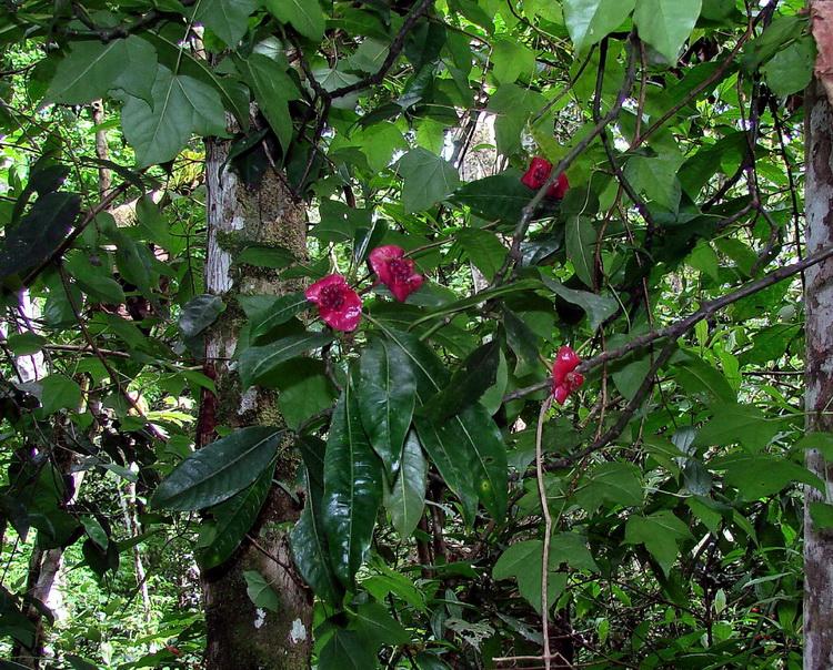 Шлюхины цветки