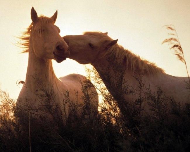 Открытка. С днем поцелуя! Поцелуй лошадки