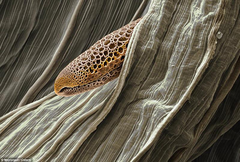 12. Пыльца бромелии. (MICRONAUT / CATERS NEWS)