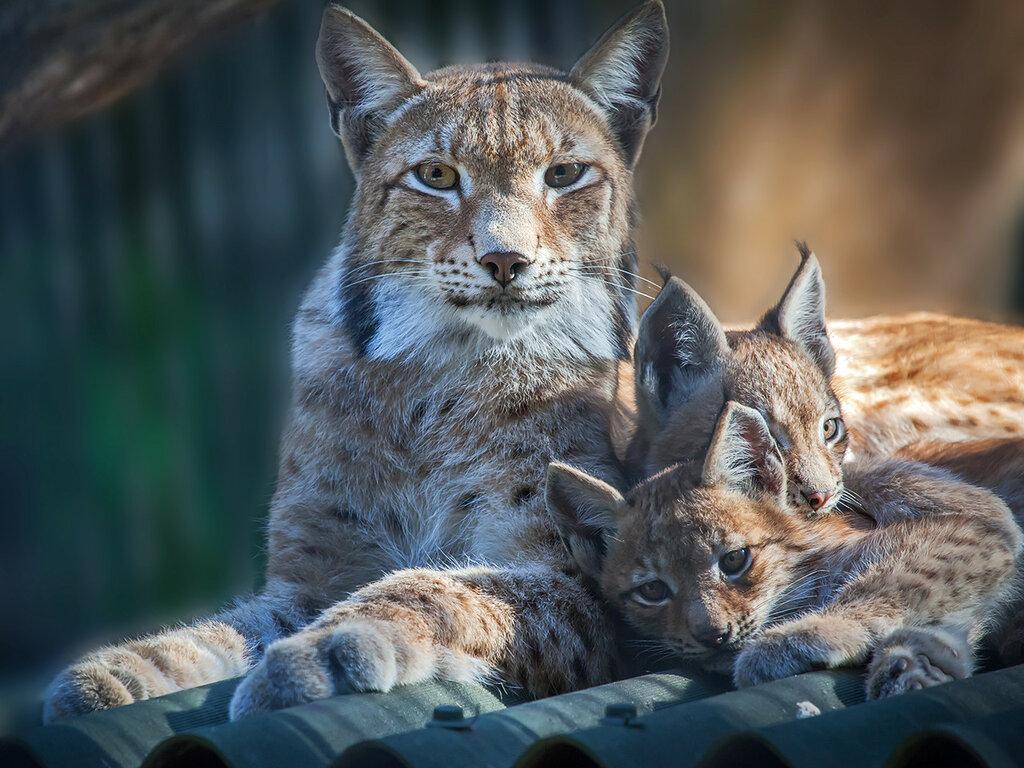 Новосибирский зоопарк. Рысь