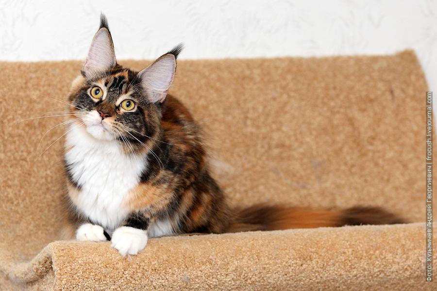 питомник Мейн-кун Москва кошка черепашка