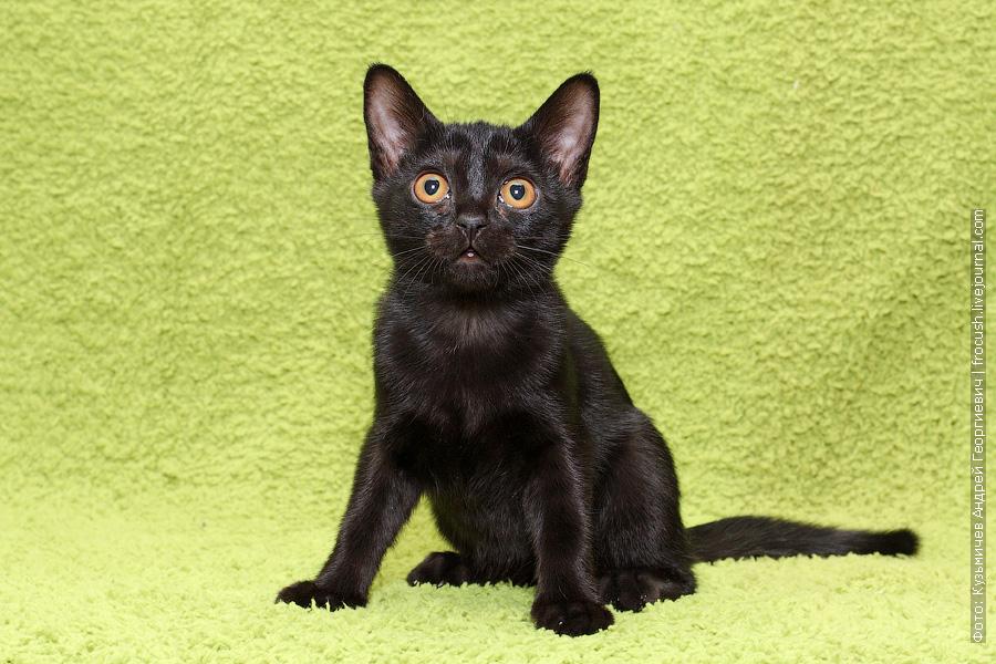 Бомбейский котенок в пиомнике